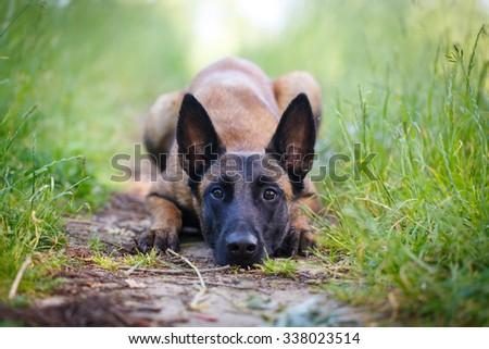 Malinois Belgian Shepherd dog - stock photo
