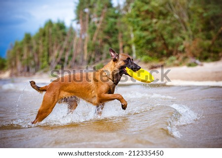 malinois dog carrying frisbee out of water - stock photo