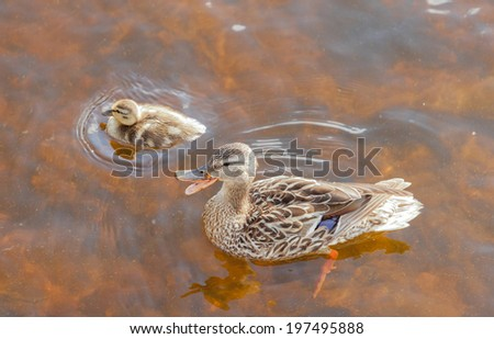Mallard, Anas platyrhynchos, duckling swimming with its mother in shallow water, high angle close up view with the mother duck quacking - stock photo