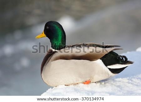 mallard, (Anas platyrhynchos). Mallard male, lying on the snow at the lake. - stock photo