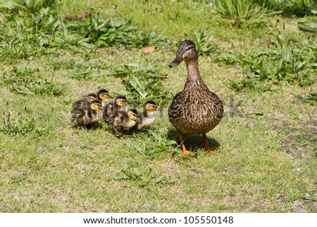 Mallard and her ducklings close up shot - stock photo