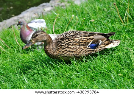 Mallard - bird of the duck family (Anatidae) detachment of waterfowl (Anseriformes). The most well-known and widespread wild duck.Young a drake. - stock photo