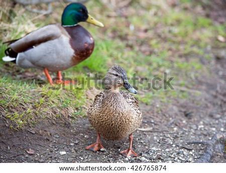 mallard duck - stock photo