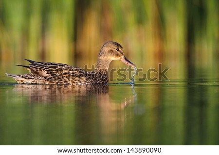 Mallard duck Anas platyrhynchos - stock photo