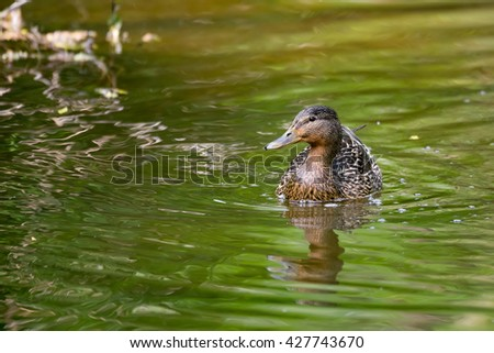 Mallard Duck (Anas platyrhynchos), Female on small river with green reflecting in water - stock photo