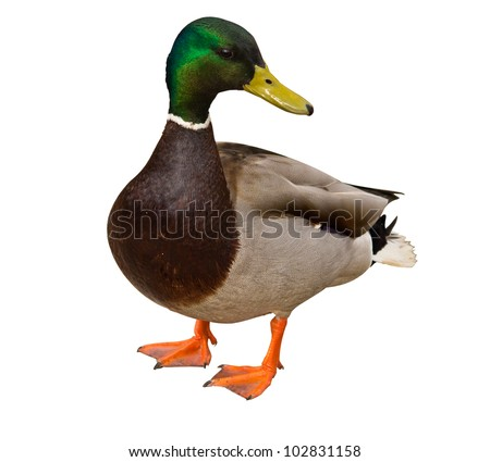 Mallard Duck (Anas platyrhynchos) isolated - stock photo