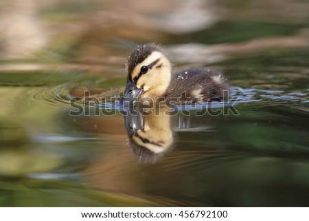 Mallard, Duck, Anas platyrhynchos - Nestling. - stock photo