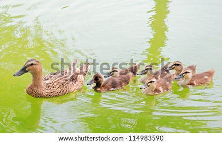mallard duck and baby ducklings swimming in a pond - stock photo