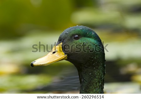 Mallard duck closeup with a lovely blurred background. - stock photo