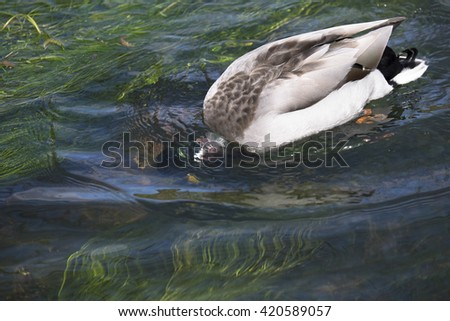 Mallard duck feeding with head under water