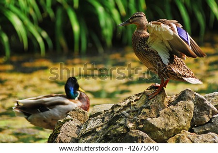 Mallard duck female and male - stock photo