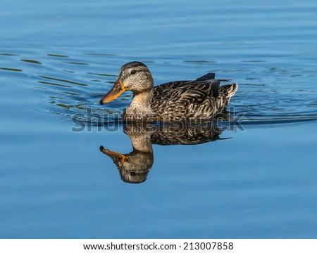 Mallard duck female swimming in blue water - stock photo