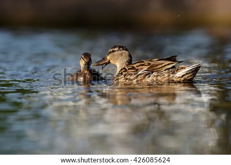 Mallard, Duck - Female with nestling. - stock photo