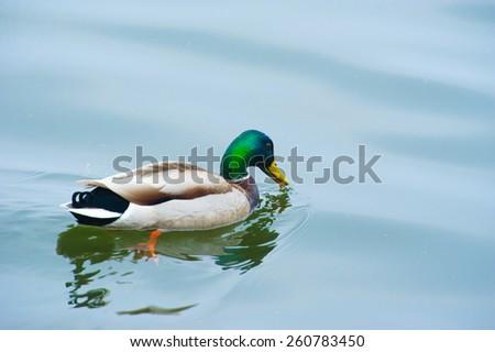 mallard duck floats on water - stock photo