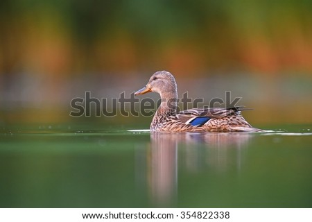 Mallard duck flowing in hazy morning light (Anas platyrhynchos) - stock photo