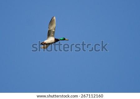 Mallard Duck Flying Alone in the Blue Sky - stock photo