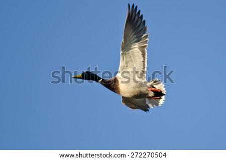 Mallard Duck Flying in a Blue Sky - stock photo