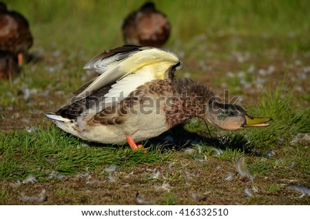 mallard duck guards the sleeping duck flock - stock photo