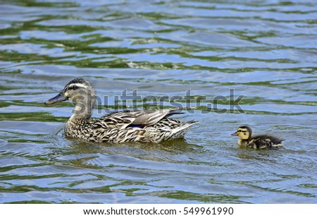 Wild Ducks Shaking Off Water Droplets Stock Photo ...