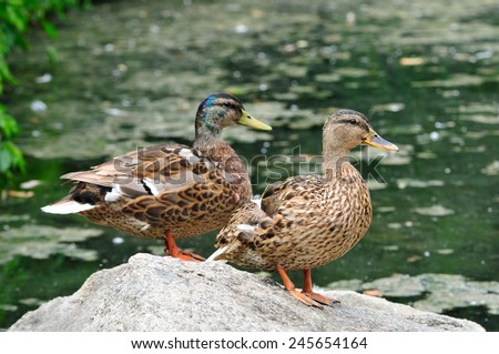 Mallard duck,male, female. Bird. Mallard (Latin Anas platyrhynchos) - bird of the duck family (Anatidae) detachment of waterfowl (Anseriformes). The most well-known and widespread wild duck. - stock photo