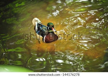 Mallard duck on the water - stock photo