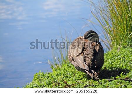 Mallard duck resting near the lake - stock photo