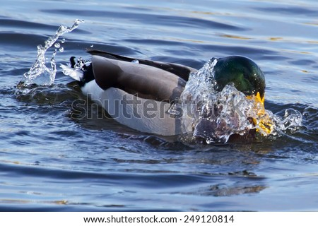 Mallard duck splashing in a small pond. - stock photo