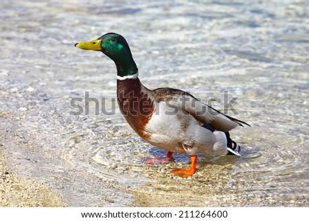 Mallard duck standing in water - stock photo