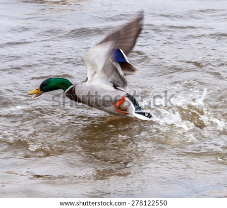 Mallard duck taking off from a river - stock photo
