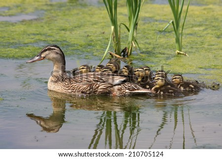 Mallard duck with ducklings - stock photo