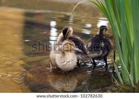 Mallard Ducklings.  Mallard Ducklings swimming in a garden pond.
