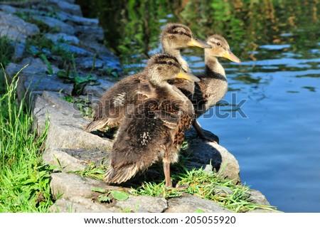Mallard ducklings. Mallard (Latin Anas platyrhynchos) - bird of the duck family (Anatidae) detachment of waterfowl (Anseriformes). The most well-known and widespread wild duck. - stock photo