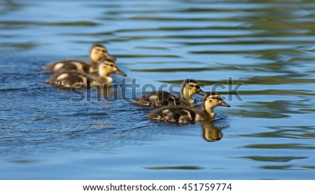 Mallard ducklings swimming on the lake. - stock photo