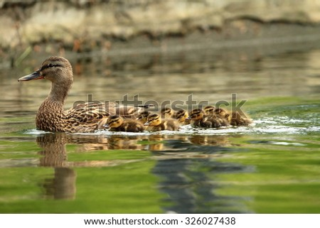 mallard ducks family, mother with ducklings swimming on pond ( Anas platyrhynchos ) - stock photo