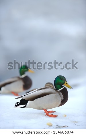 Mallard ducks on snow in winter (a male duck in the foreground) - stock photo
