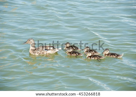 Mallard (female) and five ducklings swimming in the water - stock photo