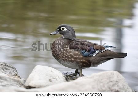 Mallard female / Female mallard duck - stock photo