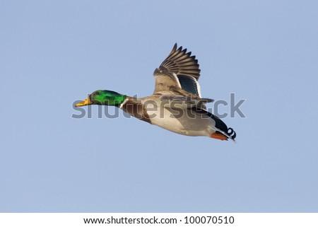 Mallard Flying - stock photo