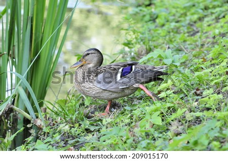 Mallard (Latin Anas platyrhynchos) - bird of the duck family (Anatidae) detachment of waterfowl (Anseriformes). The most well-known and widespread wild duck.The young bird. - stock photo