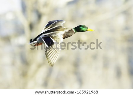mallard male in flight / Anas platyrhynchos
