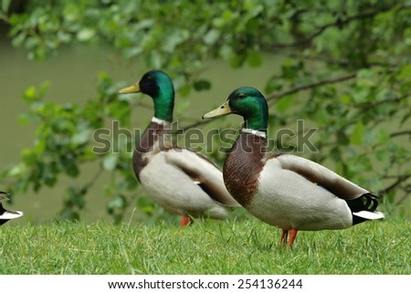 Mallard  or wild duck (Anas platyrhynchos) male - stock photo