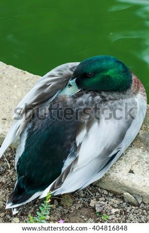 Mallard, Wild duck,duck,Animals, birds, poultry, nature. - stock photo