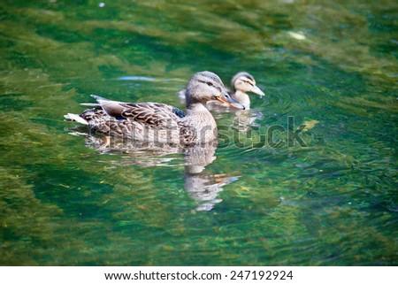 Mallards  duck          - stock photo