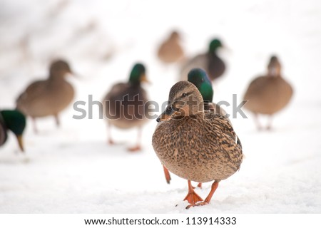 Mallards walking in the snow