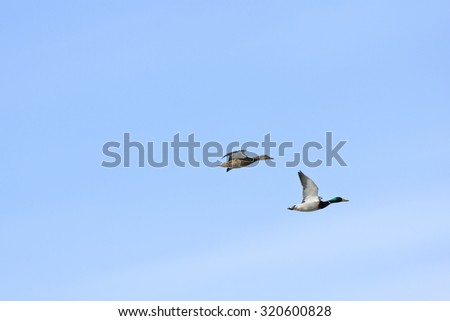 Mallards, wild duck in bird migration. Anas platyrhynchos, in seasonal movement between breeding and wintering grounds.  - stock photo