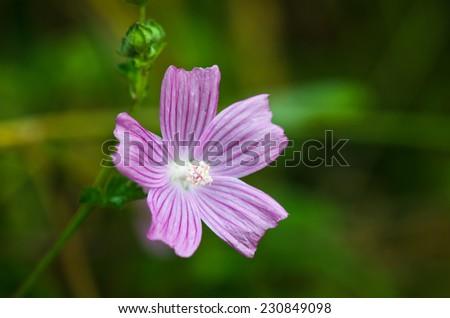 Mallow flower - stock photo
