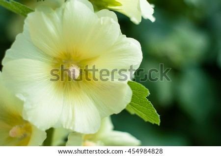 mallow flower  - stock photo
