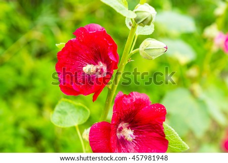 Mallow flowers in close up. Flowers growing in garden. - stock photo