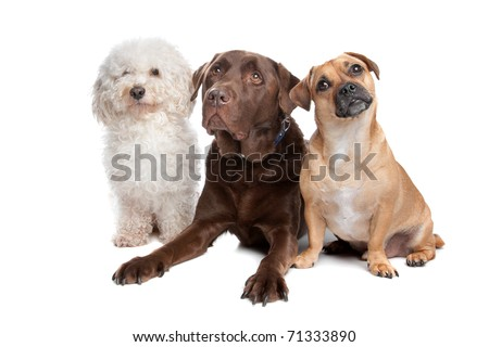 maltese, chocolate labrador and a mixed breed - stock photo