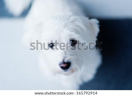 Maltese dog looking at the camera, horizontal frame - stock photo